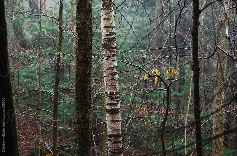 tree trunks in a forest in winter by Deirdre Malfatto for Stocksy United