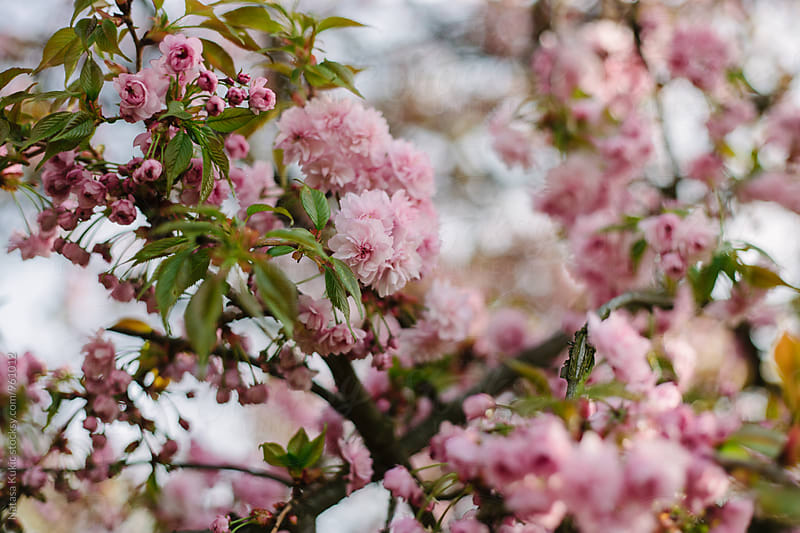Pastel spring blossoms by Natasa Kukic for Stocksy United
