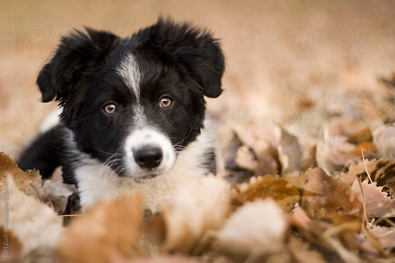 Border Collie Puppy by Carl Zoch for Stocksy United