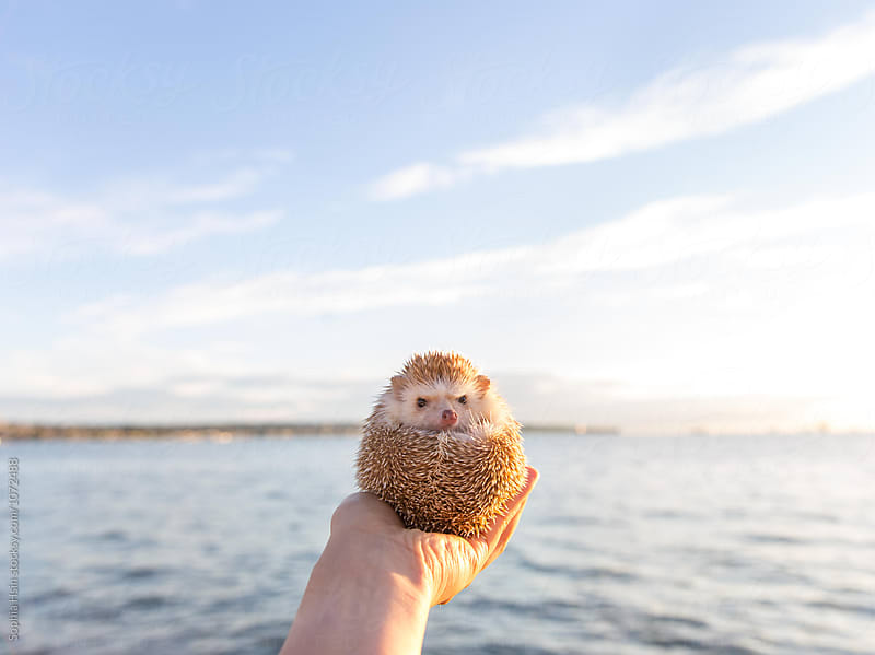 Amelia Hedgehog and the sea by Sophia Hsin for Stocksy United