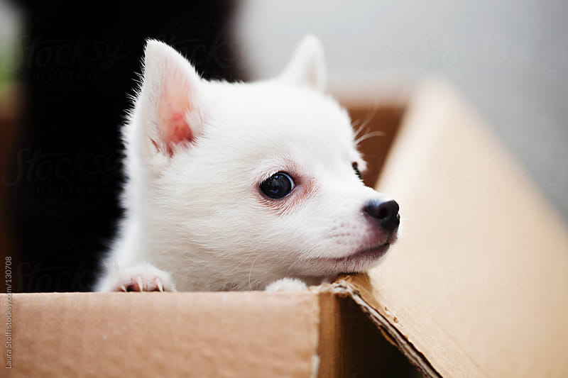 Curious spitz puppy by Laura Stolfi for Stocksy United