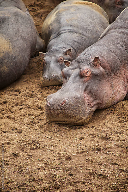Mother and baby hippo by aaronbelford inc for Stocksy United