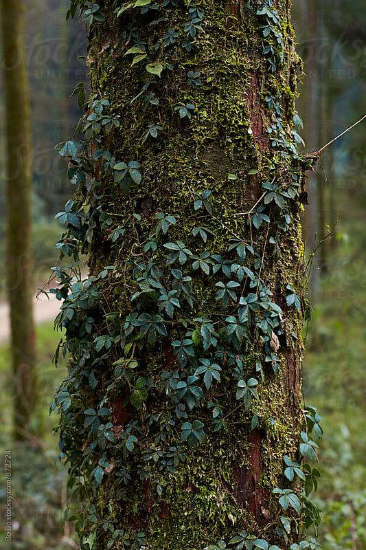 vine growing on trunk by cuiyan Liu for Stocksy United