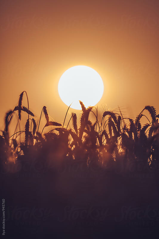 Setting sun and wheat field by Ilya for Stocksy United