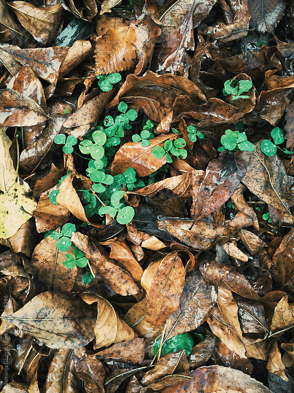 Green Clover Growing Through Rotting Fallen Leaves by Nemanja Glumac for Stocksy United