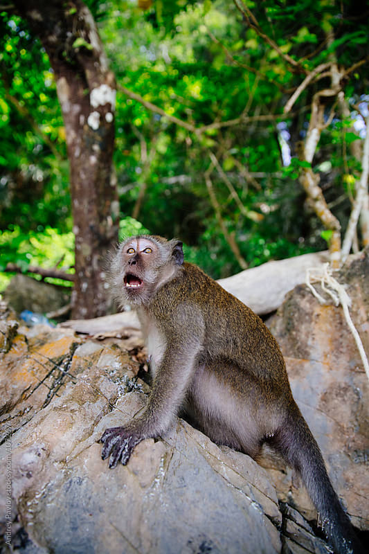 Monkey with open mouth looking up with scared look on rock by Andrey Pavlov for Stocksy United