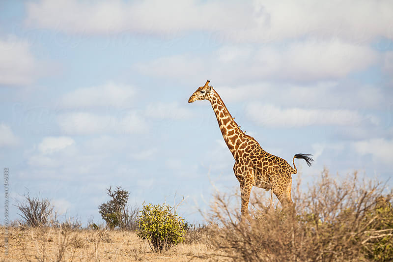 Giraffe in the savannah by michela ravasio for Stocksy United