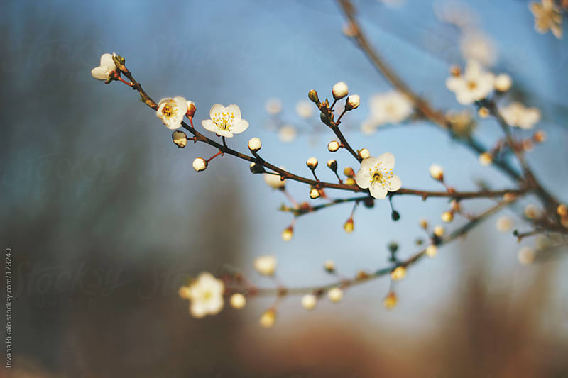 Cherry blossom tree by Jovana Rikalo for Stocksy United