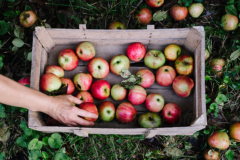 Woman placing apples in crate by Pixel Stories for Stocksy United
