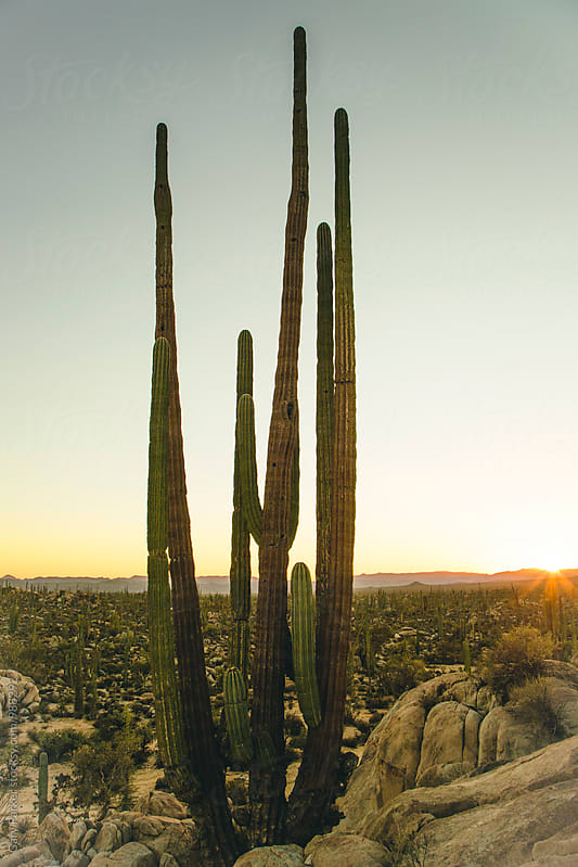 Giant Cactus by Gary Parker for Stocksy United