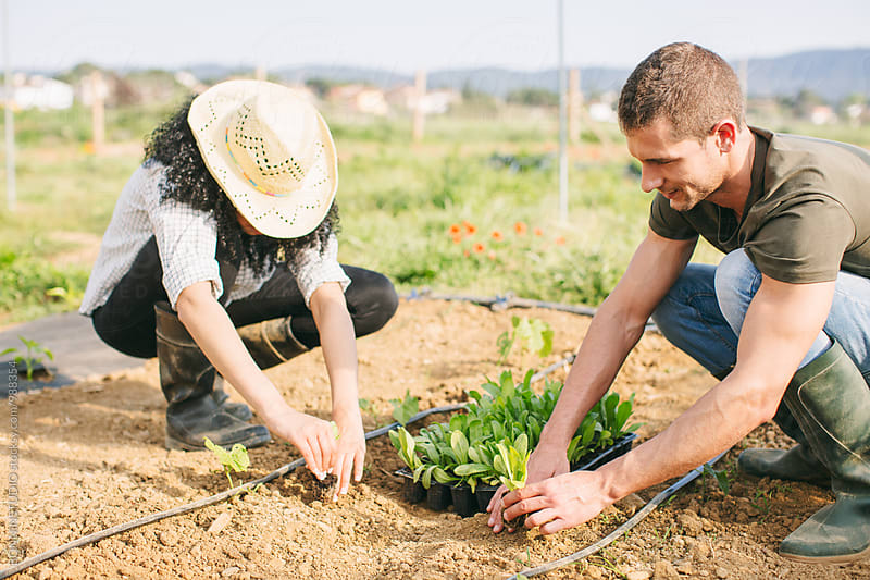 Farmers couple planting vegetables in a greenhouse. by BONNINSTUDIO for Stocksy United