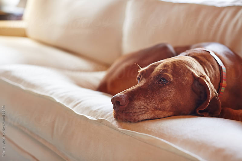 Cute dog relaxing on sofa in living room by Trinette Reed for Stocksy United