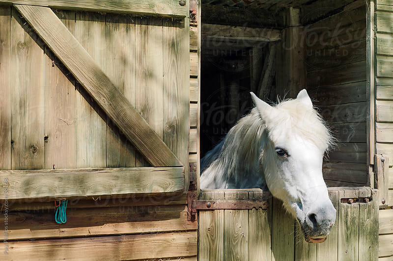 White horse looking out of stable door by Paul Phillips for Stocksy United