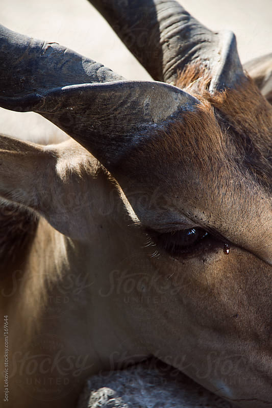 sad antilope closeup by Sonja Lekovic for Stocksy United