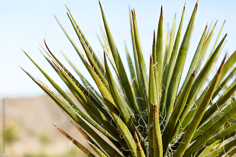 Palm plant in the desert by Melanie Riccardi for Stocksy United