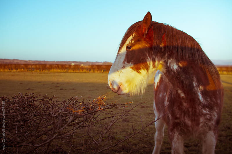 A farm shire horse in the morning light by Andy Campbell for Stocksy United