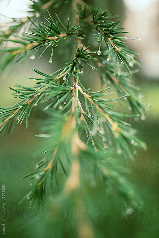 Macro catch of raindrops on spruce's twig by Laura Stolfi for Stocksy United