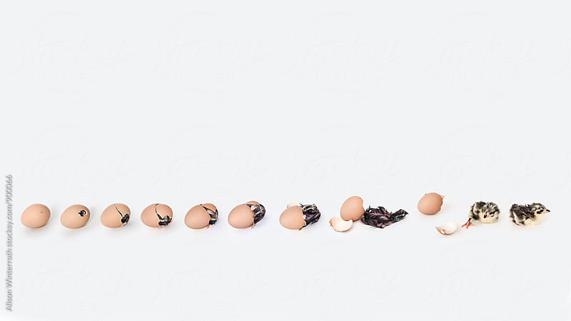 A Series Of Chicks Hatching by Alison Winterroth for Stocksy United