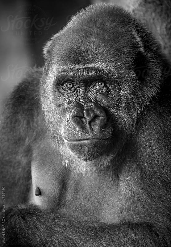 female lowland gorilla by ALAN SHAPIRO for Stocksy United