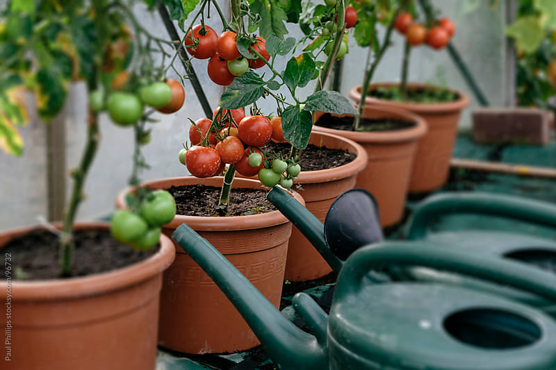 Potted tomatoes just ripening in a greenhouse. Watering cans by the side by Paul Phillips for Stocksy United