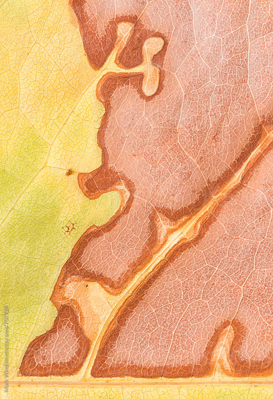 Drought-stricken leaf, closeup by Mark Windom for Stocksy United