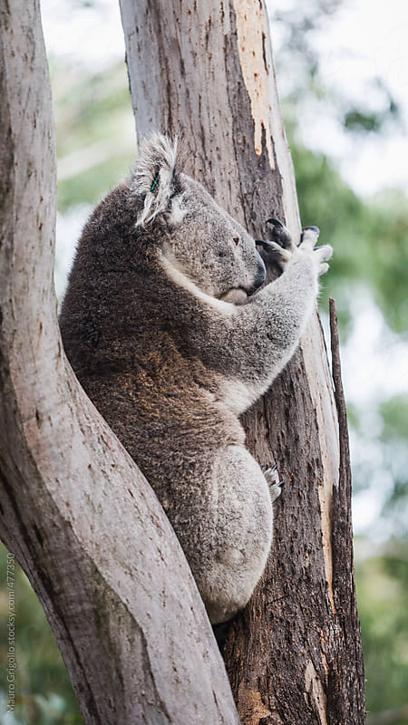 Koala in a Park, Australia. by Mauro Grigollo for Stocksy United