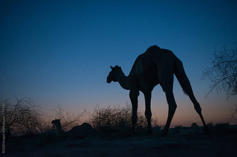 Camel at night  by RG&B Images for Stocksy United