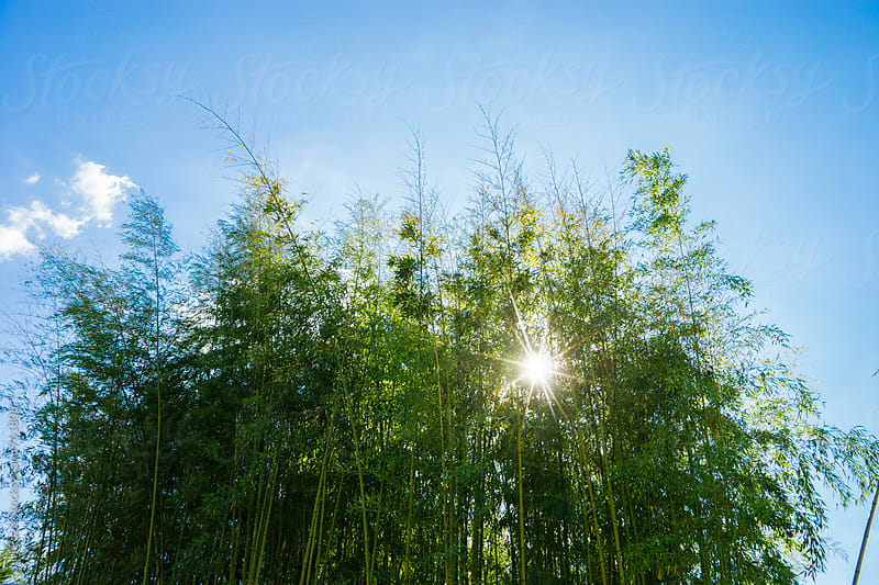 bamboo forest and blue sky by Juri Pozzi for Stocksy United