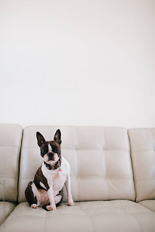 a boston terrier sitting on a white leather couch by Sarah Lalone for Stocksy United
