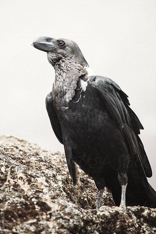 White neck raven by Chris Werner for Stocksy United