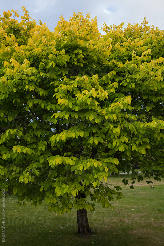 Tree in spring in New Zealand. by RZ CREATIVE for Stocksy United
