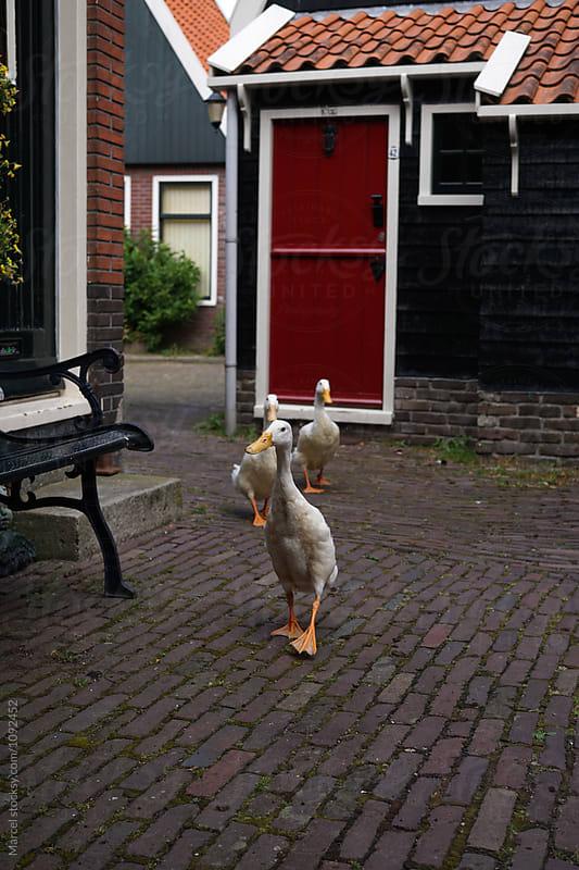 Runner ducks by Marcel for Stocksy United