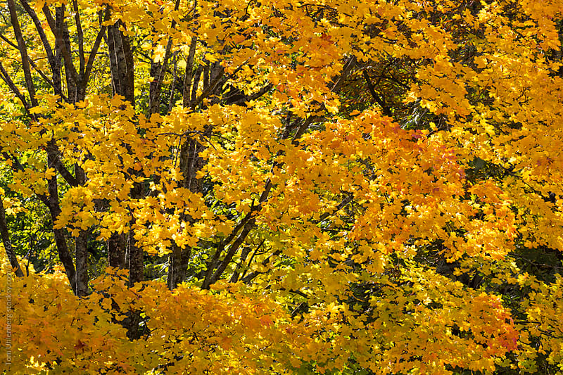 Autumn Foliage in Forest Canopy by Tom Uhlenberg for Stocksy United