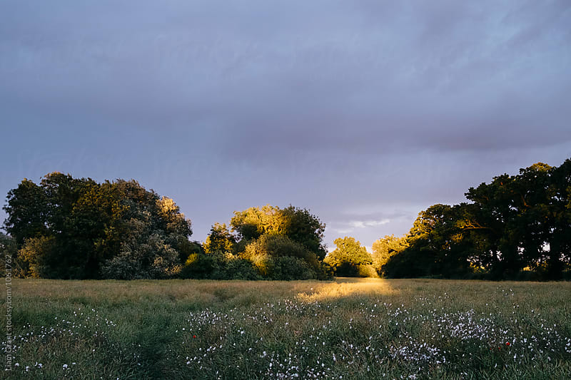 Wild flowers and sunlight in a field at sunset. Norfolk, UK. by Liam Grant for Stocksy United