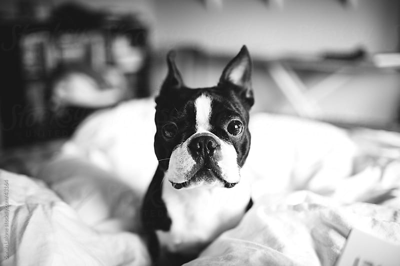 A boston terrier in a bed looking directly at the camera. by Sarah Lalone for Stocksy United