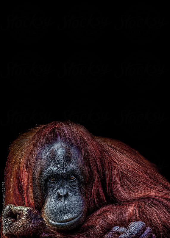 orangutan staring me down by ALAN SHAPIRO for Stocksy United