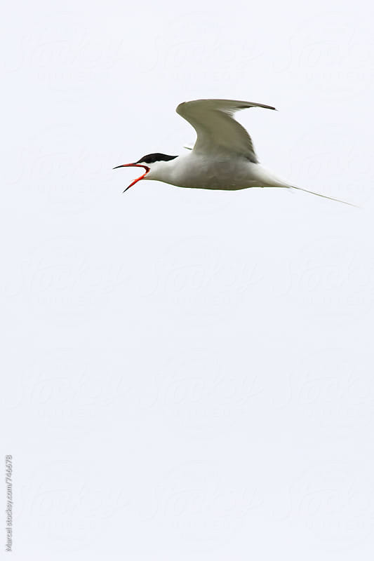Common tern screaming while in flight by Marcel for Stocksy United