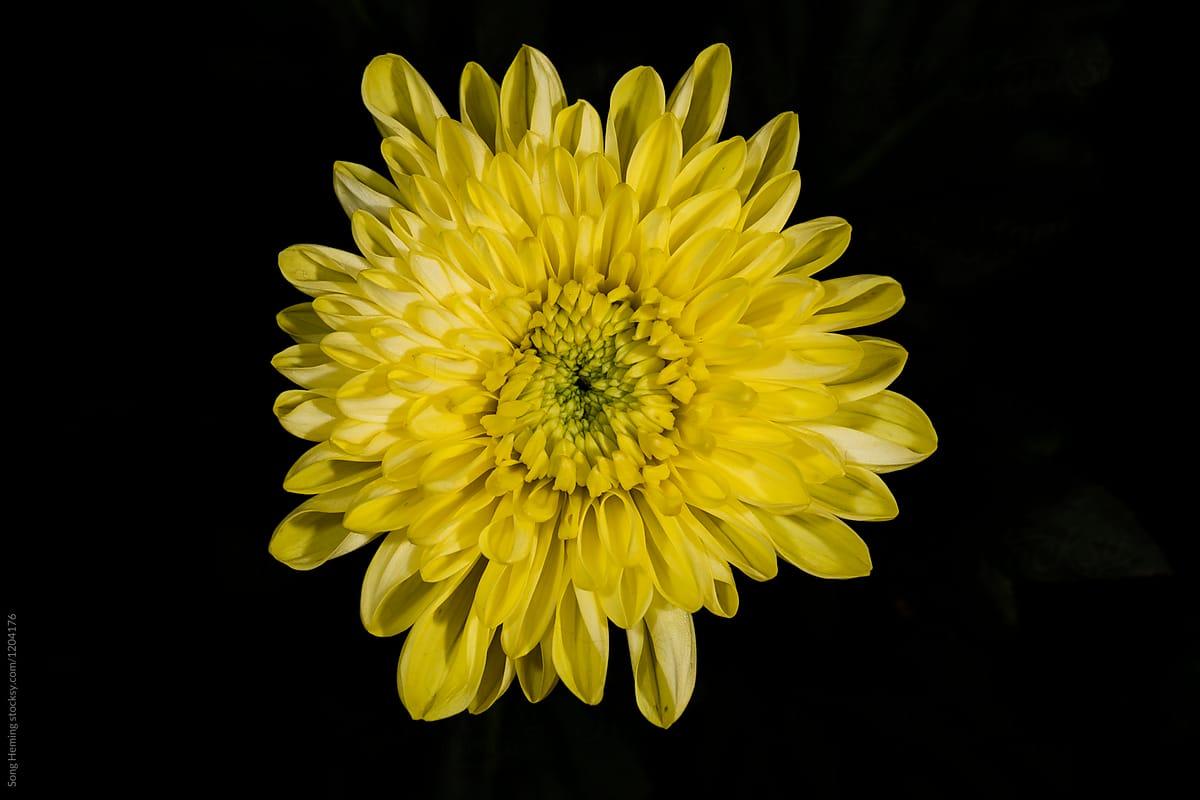 Yellow flower flower chrysanthemum in autumn stocksy united yellow flower flower chrysanthemum in autumn by song heming for stocksy united mightylinksfo