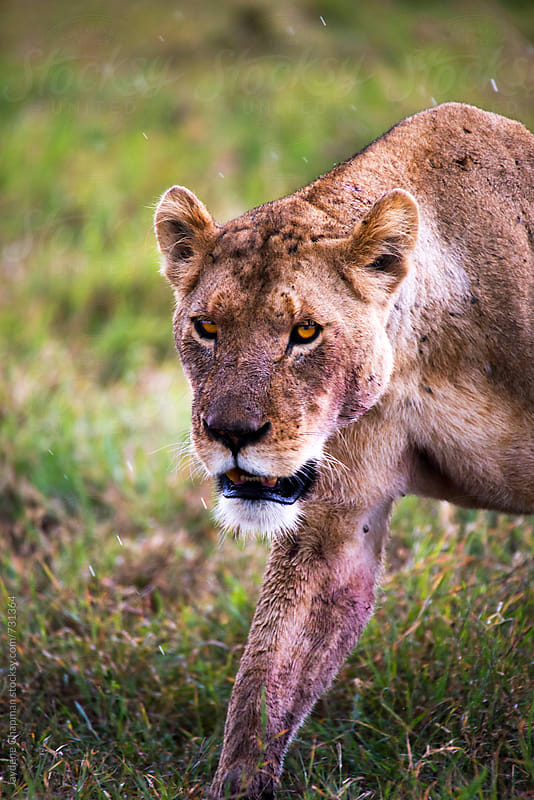 Female Lion bloody after a eating wildlife  by Jaydene Chapman for Stocksy United