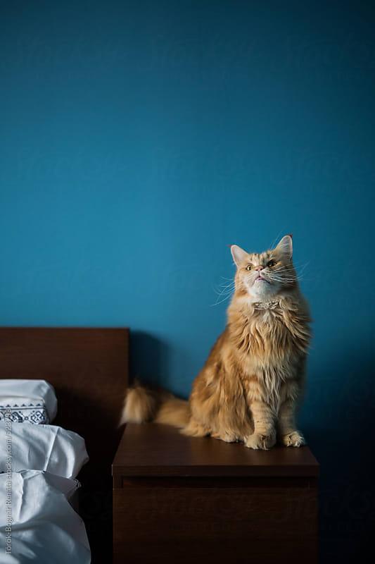 Cat on a bedside by Török-Bognár Renáta for Stocksy United