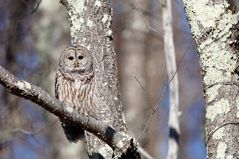 Barred Owl by Paul Tessier for Stocksy United