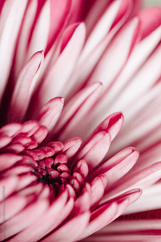 Macro of pink mum flower petals by Kerry Murphy for Stocksy United