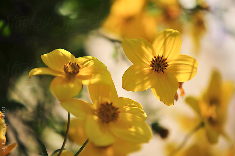Yellow Flowers in Bloom by Leigh Love for Stocksy United