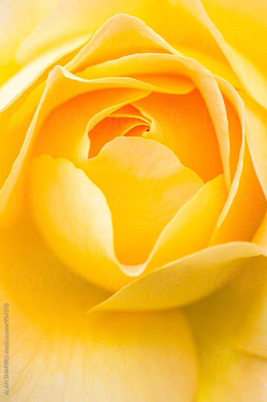 yellow rose by alan shapiro for Stocksy United