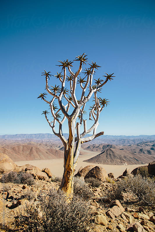 Lone quiver tree in a scenic desert landscape by Micky Wiswedel for Stocksy United