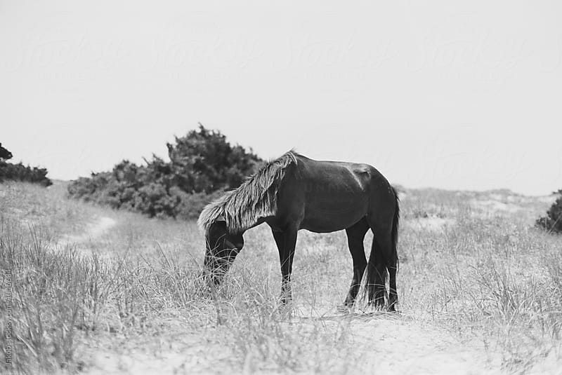 Wild horse eating beach grass by Jakob for Stocksy United