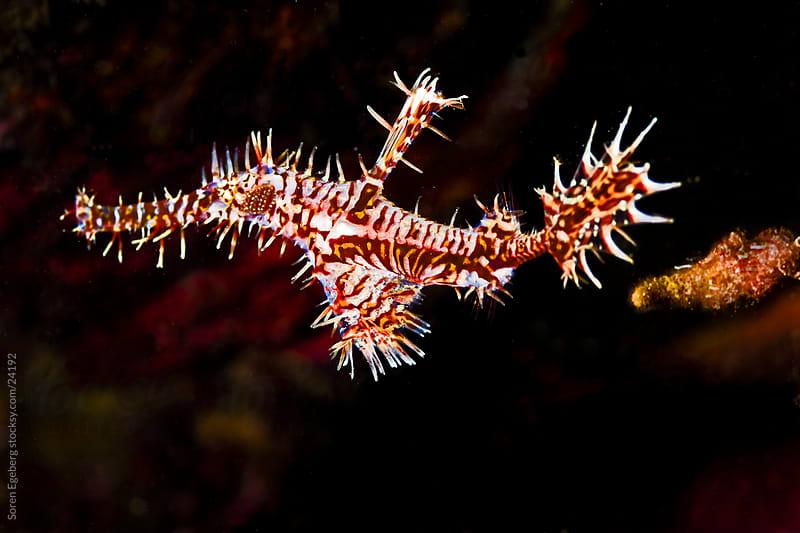 Vibrant Ornate Ghostpipe fish swimming on the reef underwater in Indonesia by Soren Egeberg for Stocksy United