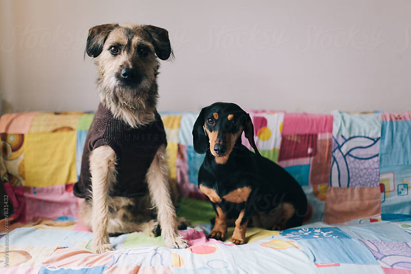 Two adorable dogs sitting on a couch looking at camera by Marija Mandic for Stocksy United