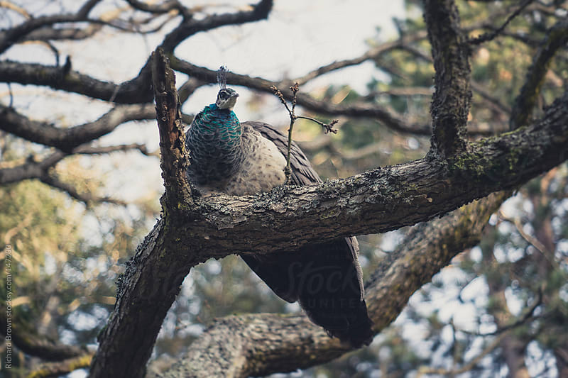 Peacock Sitting on a branch by Richard Brown for Stocksy United