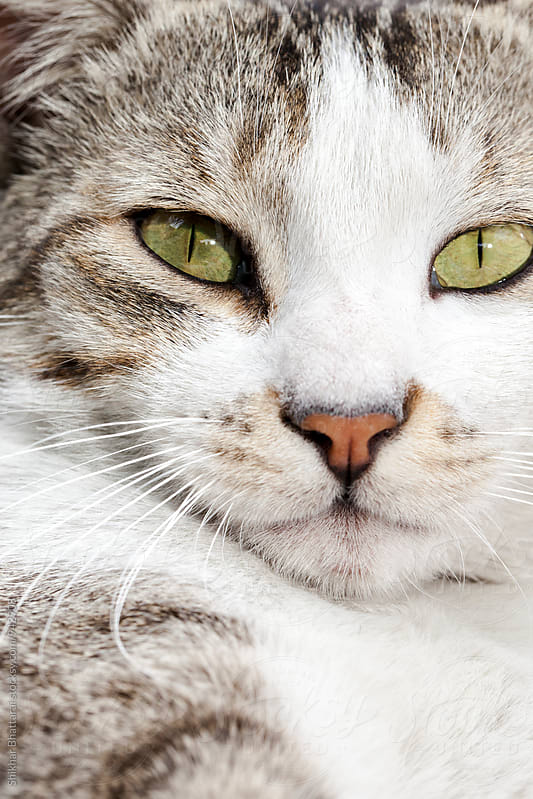 Portrait of a cat looking at the camera. by Shikhar Bhattarai for Stocksy United